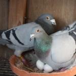 Cees Schroevers Top Pigeons Racing Pigeons